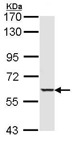 Western blot - Anti-Serine/threonine-protein kinase 4 antibody (ab97399)