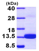 SDS-PAGE - S100Z protein (ab97408)