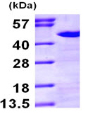SDS-PAGE - Nck protein (ab97409)