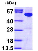 SDS-PAGE - IMPDH1 protein (ab97410)