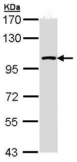 Western blot - LARS2 antibody (ab97439)