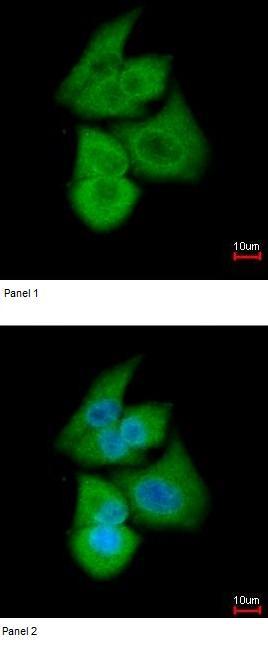 Immunocytochemistry/ Immunofluorescence - PFKL antibody (ab97443)