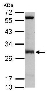 Western blot - IDI1 antibody (ab97448)