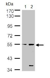 Western blot - Styk1 antibody (ab97451)