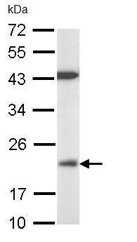 Western blot - DUSP3 antibody (ab97453)