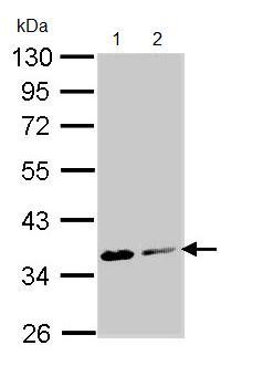 Western blot - ASPA antibody (ab97454)