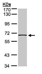 Western blot - Anti-Caspase-8 antibody (ab97472)