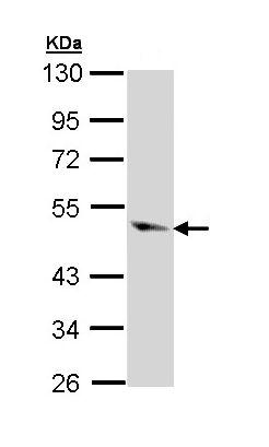 Western blot - Anti-Caspase-9 antibody (ab97473)