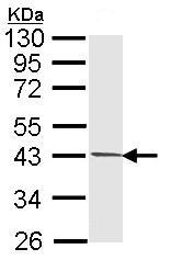 Western blot - PIM2 antibody (ab97475)