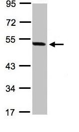 Western blot - PAX8 antibody (ab97477)