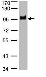 Western blot - CD44 antibody (ab97478)