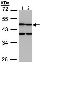 Western blot - Creatine kinase MT antibody (ab97481)