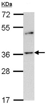 Western blot - Olfactory Receptor OR2A4 antibody (ab97486)