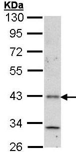 Western blot - HRH4 antibody (ab97487)