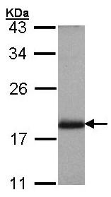 Western blot - ARF3 antibody (ab97490)