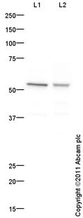 Western blot - GNAT2 antibody (ab97501)