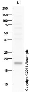 Western blot - THRSP antibody (ab97504)