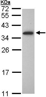 Western blot - Olig1 antibody (ab97507)