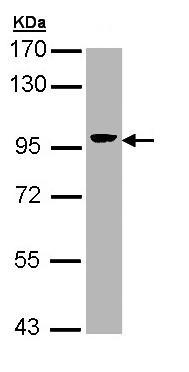 Western blot - Villin antibody (ab97512)