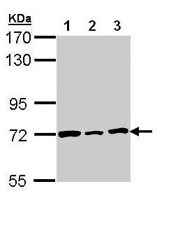 Western blot - Lamin B2 antibody (ab97513)