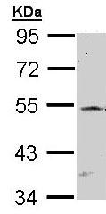 Western blot - RBPJK antibody (ab97524)