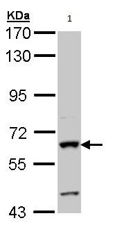 Western blot - Human intestinal alkaline phosphatase antibody (ab97532)