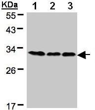 Western blot - BAP31 antibody (ab97536)