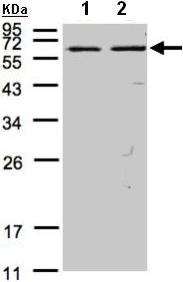 Western blot - FASTK antibody (ab97544)