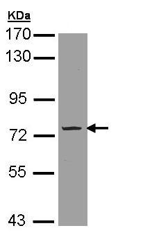 Western blot - PDE9A antibody (ab97556)