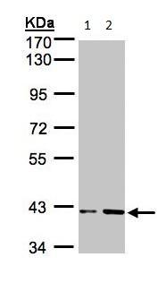 Western blot - PRPSAP1 antibody (ab97561)