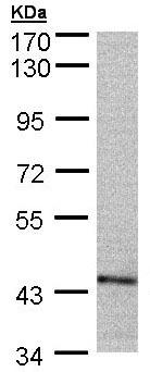 Western blot - PSMC6 antibody (ab97566)
