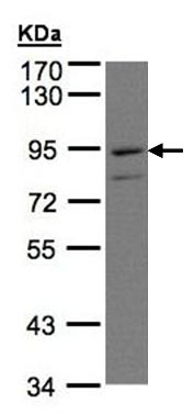 Western blot - PTGFRN antibody (ab97567)