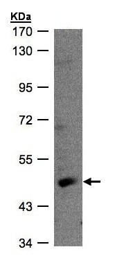 Western blot - Retinoic Acid Receptor gamma antibody (ab97569)