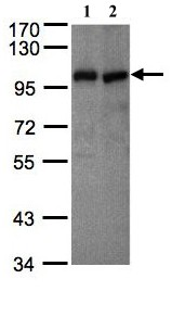 Western blot - VAV1 antibody (ab97574)