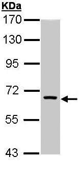 Western blot - FANCC antibody (ab97575)