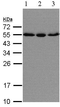 Western blot - KPNA2 antibody (ab97580)