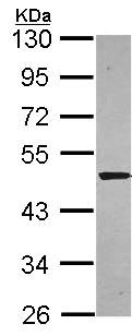 Western blot - Syntrophin alpha 1 antibody (ab97581)