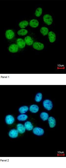 Immunocytochemistry/ Immunofluorescence - NuMA antibody (ab97585)