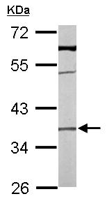 Western blot - TMEM59 antibody (ab97597)