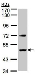 Western blot - Factor VII antibody (ab97614)