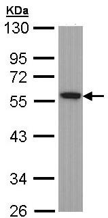 Western blot - TUBA1B antibody (ab97622)