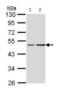 Western blot - G protein alpha S antibody (ab97629)