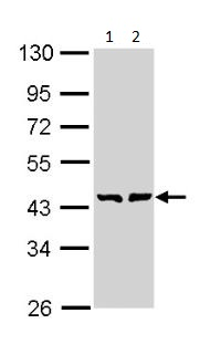 Western blot - GMDS antibody (ab97630)