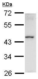 Western blot - HMBOX1 antibody (ab97643)