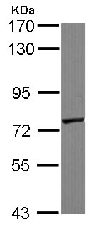 Western blot - GALNT7 antibody (ab97645)