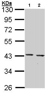 Western blot - CED6 antibody (ab97669)