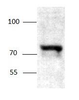 Western blot - SGLT1 antibody (ab97682)