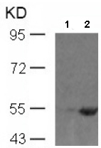 Western blot - Smad1 (phospho S465) antibody (ab97689)