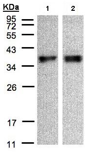 Western blot - ZPBP1 antibody (ab97691)