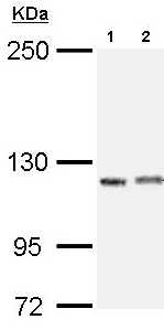 Western blot - IGSF3 antibody (ab97704)